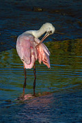 Spoonbill Photos - Slight itch by Matthew Trudeau