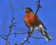 American Robin Posters - Slim Pickings Poster by Tony Beck