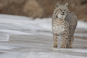 Lynx Rufus Photos - Slippery Trails by Robert Weiman