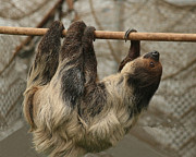 Sloth Photo Posters - Sloth Poster by Ellen Henneke