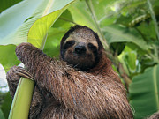 Brown-throated Three-toed Sloth Prints - Sloth in banana tree Print by Vilainecrevette