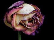 Purple Rose Prints - Slow Fade Print by Rona Black