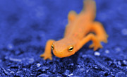Salamanders Photos - Sly Salamander by Luke Moore