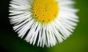 Single Flower Posters - Small daisy macro Poster by Amy Cicconi