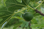 Mick Anderson - Small Fig on a Small Fig...