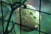 Jim Vansant - Small Gourd by Fence