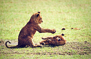 Lion Art - Small lion cubs playing. Tanzania in Africa by Michal Bednarek