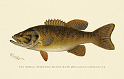Antique Digital Art Posters - Small Mouthed Black Bass Poster by Gary Grayson