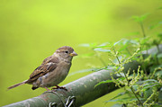Sparrow Photo Prints - Small sparrow Print by Angela Doelling AD DESIGN Photo and PhotoArt