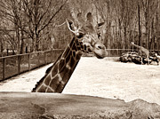 Giraffe Photos - Small Talk by Luke Moore