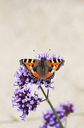 Tortoiseshell Prints - Small Tortoiseshell on Verbena Print by Tim Gainey