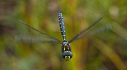Dragonfly Framed Prints - Smile for the Camera Framed Print by Randy Hall