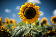 Sunflower Prints Prints - Smile Sunflower Print by Jason Bartimus