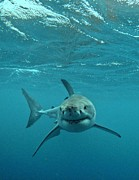 White Shark Prints - Smiley shark Print by Crystal Beckmann