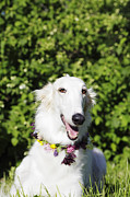 Sight Hound Photo Posters - Smiling Borzoi Dog Poster by Christian Lagereek