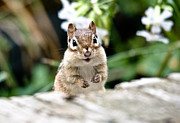 Cheryl Baxter Metal Prints - Smiling Chipmunk Metal Print by Cheryl Baxter