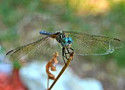 Macro Dragonfly Picture Posters - Smiling Dragon Fly Poster by Peggy  Franz