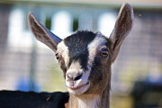Kid Photo Originals - Smiling Goat by Amazing Jules