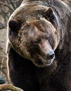 Black Bear Cubs Photos - Smiling Grizzly by Athena Mckinzie