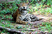 Jaguars Prints - Smiling Jaguar Print by Kathy  White