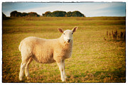 Field Photographs Posters - Smiling Sheep in Field Poster by Natalie Kinnear