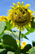 Buttonwood Farm Photo Posters - Smiling Sunflower Poster by Donna Doherty