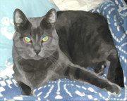 Kitty Digital Art - Smokey on a Blue Blanket by Jeanne A Martin