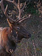 Elk Photographs Photo Prints - Smoky Bull Print by Skip Willits