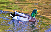 Wood Duck Profile Photos - Smooth Landing Duck by Athena Mckinzie