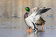 Green Feathers On Back Posters - Smug Mallard Duck Stands Tall Poster by Ilene Hoffman
