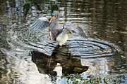 Tri-colored Heron Photos - Snack Shades by Adam Jewell