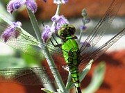 Dragonfly Photos - Snacktime by Scott Cameron