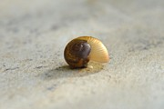 Dwell Photo Framed Prints - Snail-resting Framed Print by Darla Wood