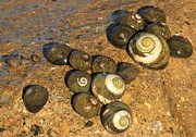 Snails Photos - Snails By The Sea by Adam Jewell
