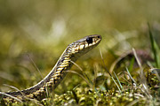 Reptiles Digital Art Metal Prints - Snake Encounter Close-up Metal Print by Christina Rollo