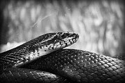 Kelly Hazel Acrylic Prints - Snake in Black and White Acrylic Print by Kelly Hazel