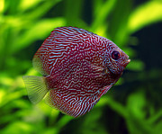 Discus Photo Prints - Snakeskin Discus Fish Print by Brandon Alms