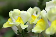 Snapdragons Prints - Snapdragons group of yellow cream Print by Renee Croushore