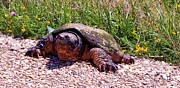 Anna-maria Dickinson - Snapping Turtle