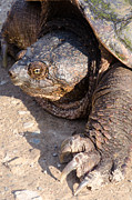 Thomas Pettengill - Snapping Turtle