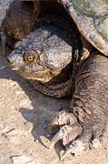 Thomas Pettengill - Snapping Turtle