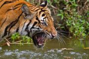 Cat Photos Photos - Snarling Tiger by Louise Heusinkveld