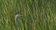 Deborah Smith - Sneaky Egret in Grass