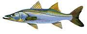 Striped Bass Paintings - Snook by Carey Chen
