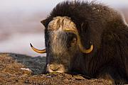 Musk Prints - Snoozing Musk Ox Print by Tim Grams