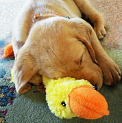 Toy Animals Prints - Snoozing With My Duck Fell Asleep On A Job Puppy Print by Irina Sztukowski