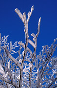 Clear Blue Sky Framed Prints - Snow And Ice Coated Branches Framed Print by Anonymous