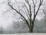 Sue Mcglothlin Posters - Snow and pecan tree Poster by Sue McGlothlin