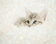 Kitten Prints Framed Prints - Snow Baby Framed Print by Amy Tyler