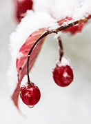Berry Photo Posters - Snow Berries Poster by Aaron Aldrich